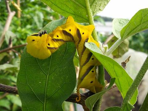 クロメンガタスズメ幼虫